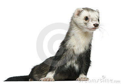 Ferret, 3 and a half years old