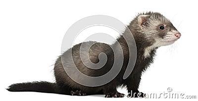 Ferret, 6 months old