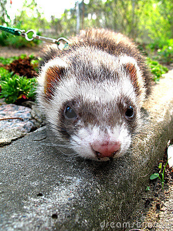 Free Ferret Royalty Free Stock Images - 761089