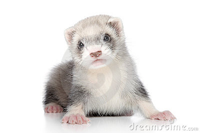Ferret baby