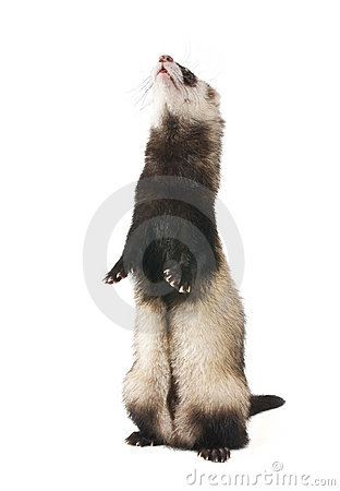 The ferret is a column