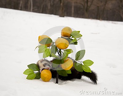 Ferret eats a lemon in the winter forest