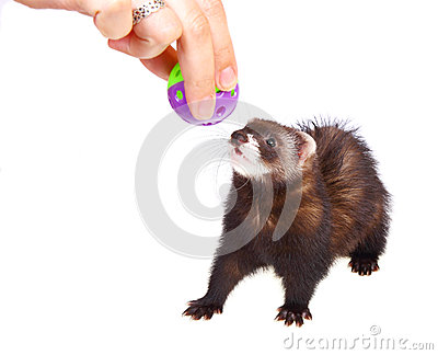 Ferret kit and toy