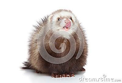 Ferret licks on a white background