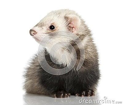 Ferret - Mustela putorius furo (8months old)