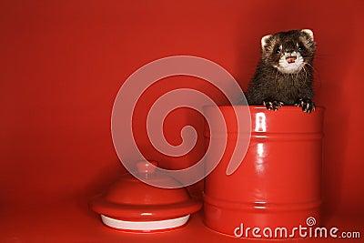 Ferret peeking out of jar.