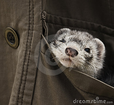 Free Ferret Pet Royalty Free Stock Photography - 10557157