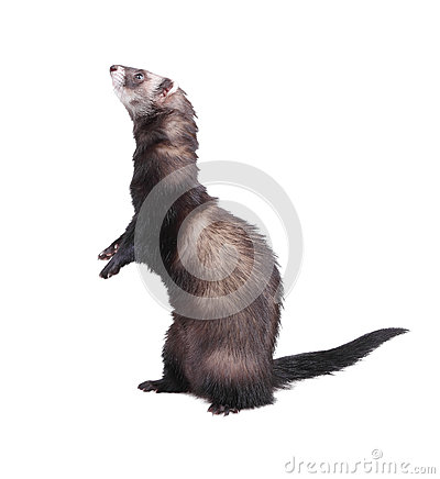 Ferret standing on hind legs