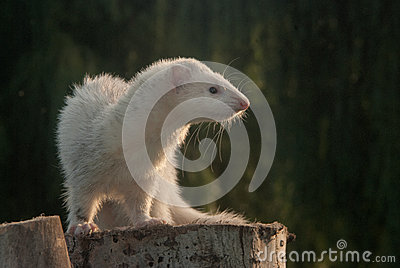 Ferret on a stump