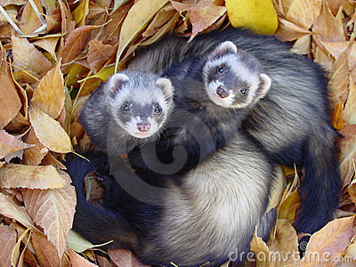 Ferrets in Autumn Leaves