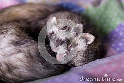 Ferrets: Mocha + Bean