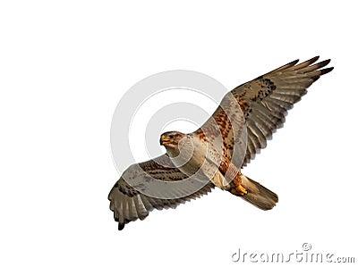 Ferruginous Hawk Isolated