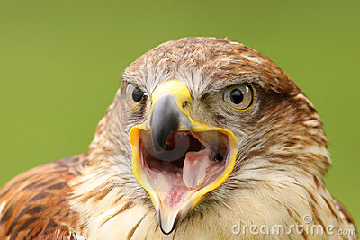 Ferruginous hawk with open beak