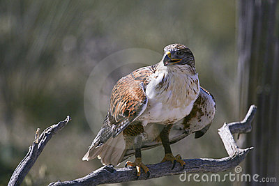 Ferruginous Hawk at the ready