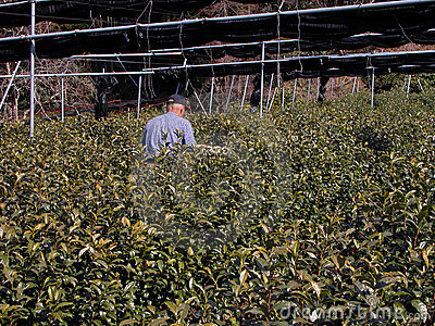 Fertilizing the tea culture