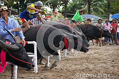 Festival Buffalo racing Editorial Image