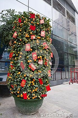 Festival kumquat