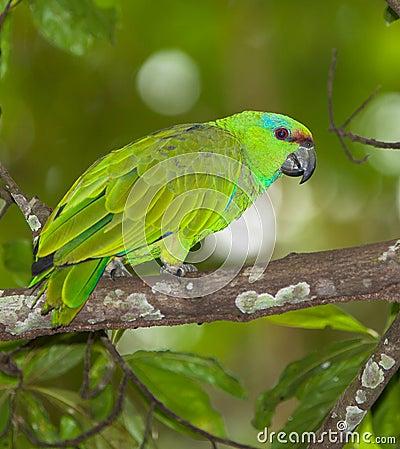 Festive Parrot