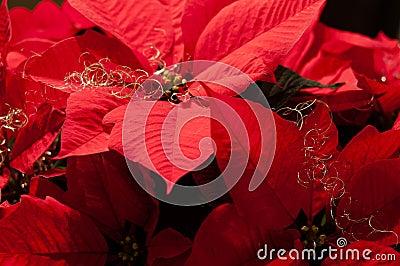 Festive Poinsettia