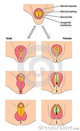 testosterone molecular formula