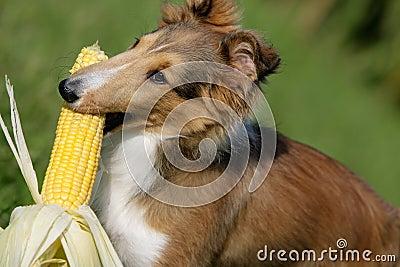 Fetching corn