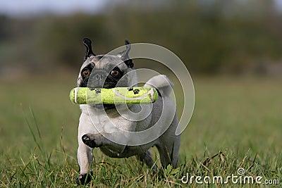 Fetching pug