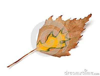 Feuille de bouleau d 39 automne photo stock image 56061187 - Feuille de bouleau photo ...