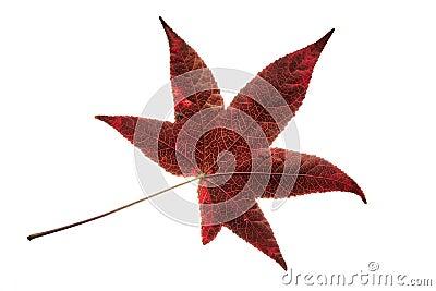 feuille rouge simple d 39 isolement d 39 arbre de liquidambar photo stock image 45816439. Black Bedroom Furniture Sets. Home Design Ideas