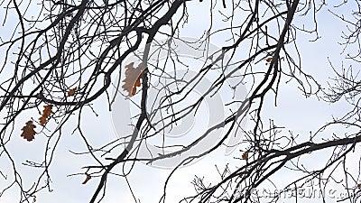 Feuille seulement s?che de ch?ne sur une branche, balanc?e par le vent clips vidéos