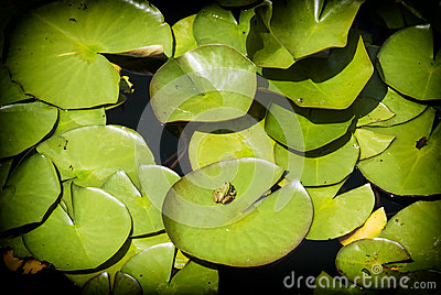 feuilles de vert de n nuphar et de grenouille photos stock image 31555753. Black Bedroom Furniture Sets. Home Design Ideas