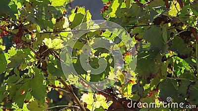 Feuilles de vigne en automne banque de vidéos