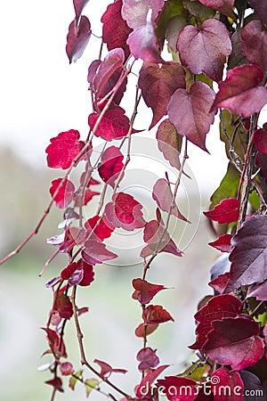 Feuilles rouges de plante grimpante de lierre photo stock image 47006589 - Plante a feuilles rouges ...