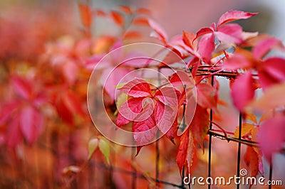 Feuilles rouges de plante grimpante de virginie d 39 automne photo libre de droits image 35088275 - Plante a feuilles rouges ...