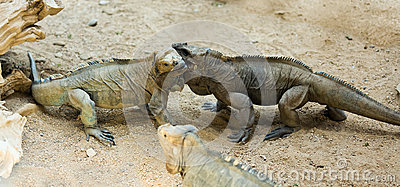 Few Rhinoceros iguanas