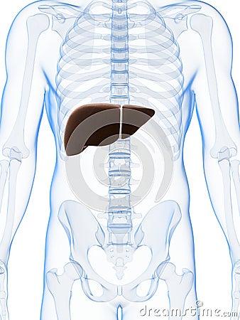 Fígado masculino