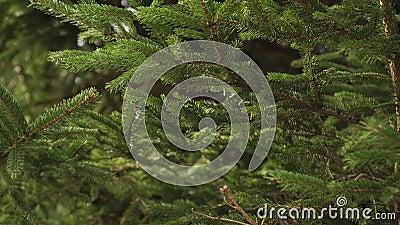 Fichtenwald und Zweige mit grünen Nadeln dicht aufgerichtet stock video footage
