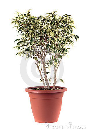 Ficus Бенжамина