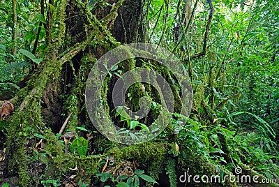 ficus baum wurzelt im regenwald den dschungel costa rica stockfoto bild 66618362. Black Bedroom Furniture Sets. Home Design Ideas