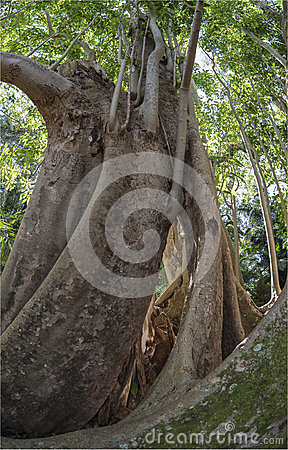 Ficus benghalensis, the Indian Banyan tree