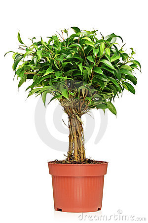 A Ficus Benjamin in a brown pot