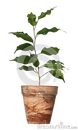 Ficus benjamina.