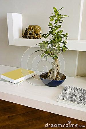 Ficus benjamina bonsai on the white shelves