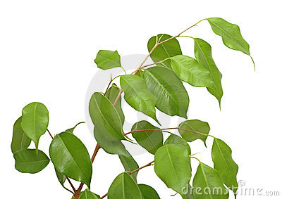 Ficus benjamina, isolated