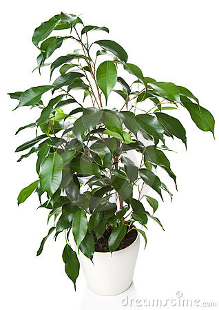 Ficus benjamina isolated