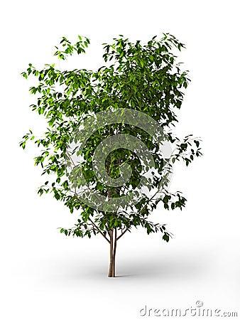 Free Ficus Benjamina.Java Tree Isolated Stock Photos - 10615333