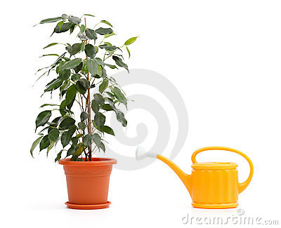 Ficus Benjamina and sprinkling can