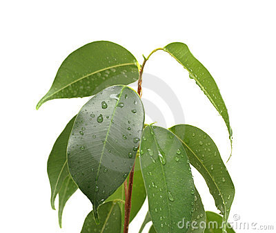 Ficus benjamina with waterdrops, isolated