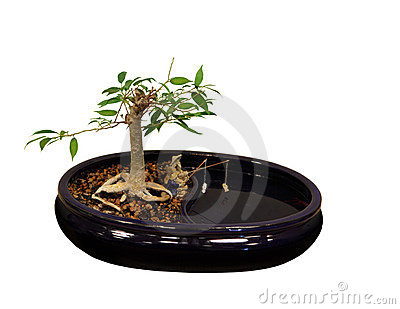 Ficus Bonsai Tree