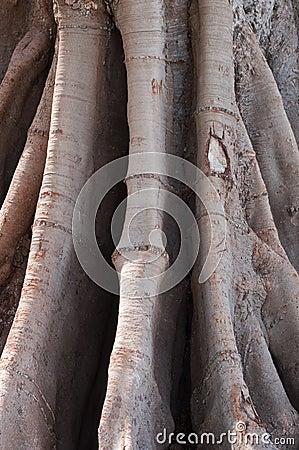 Ficus in Cadiz