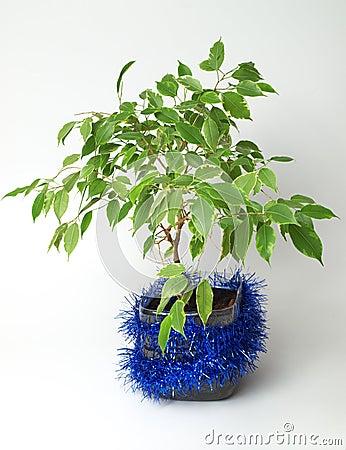 Ficus drzewo